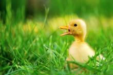 Small Duck  Of Green Grass