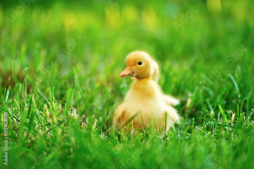 Photo Small duck  of green grass
