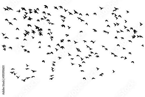 Fototapeta premium stado ptaków