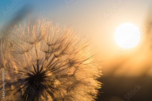 Fototapeta  Dandelion closeup against sun and sky during the dawn