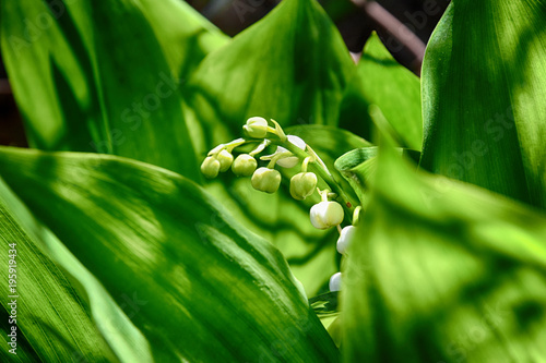 spring May lily of the valley growing among green leaves in a green garden