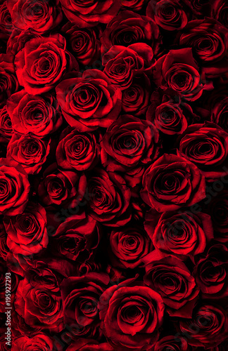 fresh red roses isolated on a black background. Greeting card with roses