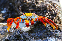 Sally Lightfoot Crab On Espano...