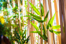 Young Bamboo Leafs In Bamboo Forest