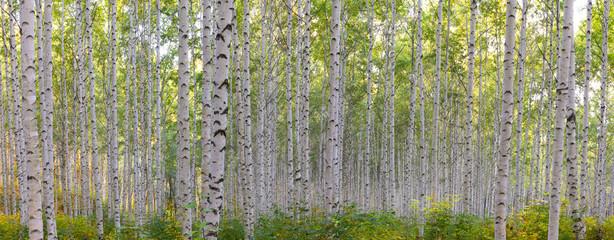 Fototapeta Drzewa 초가을에 찾아간 자작나무숲