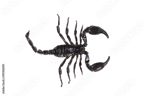 black scorpion on white isolated background