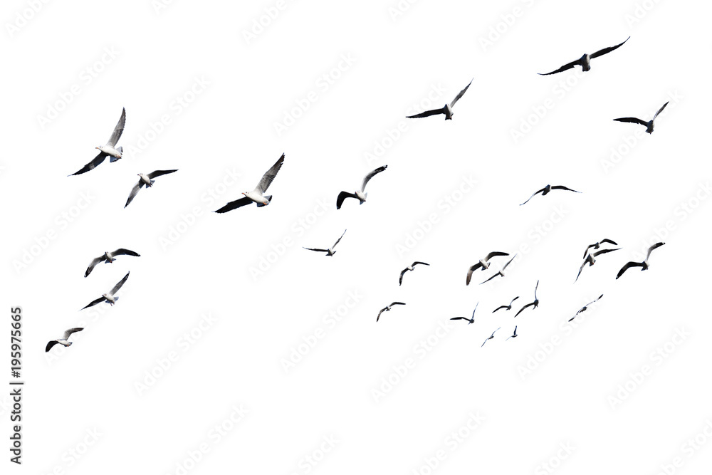 Fototapety, obrazy: Flock of birds flying isolated on white background. This has clipping path.