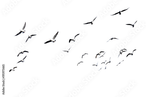 Spoed Fotobehang Vogel Flock of birds flying isolated on white background. This has clipping path.