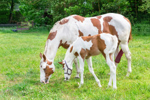 Mother Horse With Newborn Foal...