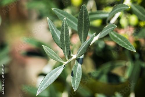 Tuinposter Olijfboom Olives on olive tree branch. Olive tree