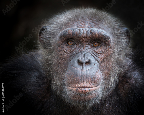 The old face of a chimpanzee on a black background. Wall mural