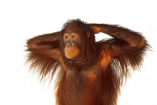 A Young Orangutan On A White Background.
