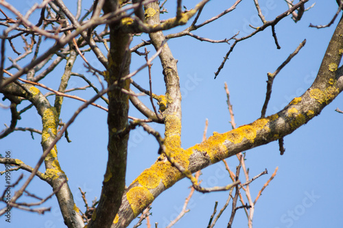 yellow lichen on a walnut tree trunk and sky in the