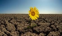 Sunflower On Droughty Desert