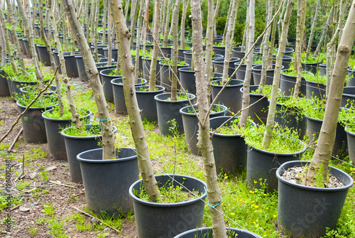 Obraz na plátne seedlings of fruit trees in plastic buckets