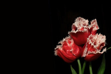 Three Red Louvre Tulips With White Edges On Black Background