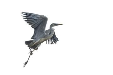 Grey heron flying isolated on white background