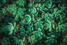 Thick Green Succulent Closeup Pattern Background. Hipster Plant Floral Texture.