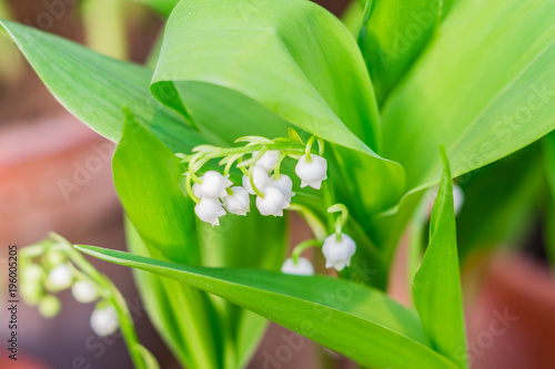 Poster Muguet de mai Blossoming lily of the valley, floral background, selective focus