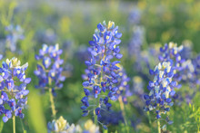 The Texas Bluebonnets