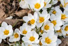 Biene In Weißem Krokus