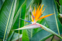 Strelitzia Bright Flower On Gr...