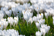 Spring White Crocus Flowers On...
