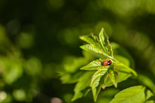 Insects Mating. Ladybug Mating...