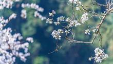 White Flower, Bauhinia Variega...