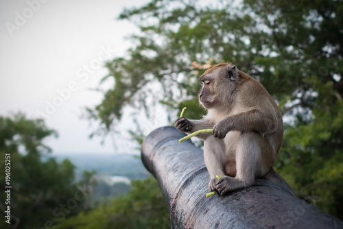 Funny monkey sits on the cannon in national park and holds green sprouts Wallpaper Mural