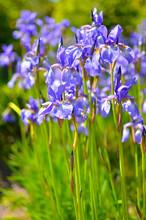 Violet Blue Flowers Of Wild Ir...