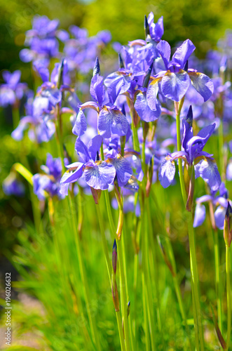 Violet blue flowers of wild iris, covered with drops of summer rain, on a green background