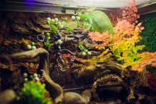 Chameleon Furcifer Pardalis , ...