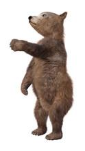 3D Rendering Brown Bear Cub On...