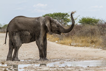 Elephant Taking A Bath Of Mud And Water In Etosha National Park In Namibia