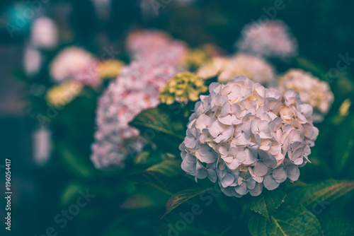 Pink hydrangea flowers bush in autumn