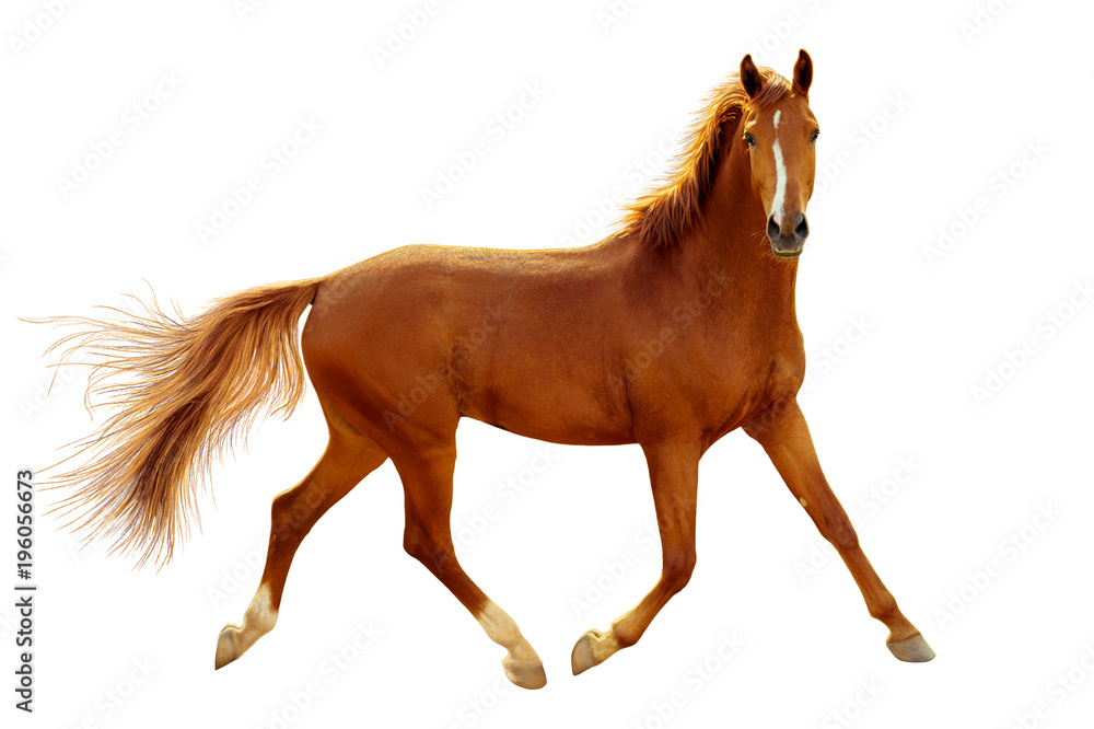 A red horse in contour light is trotting freely.