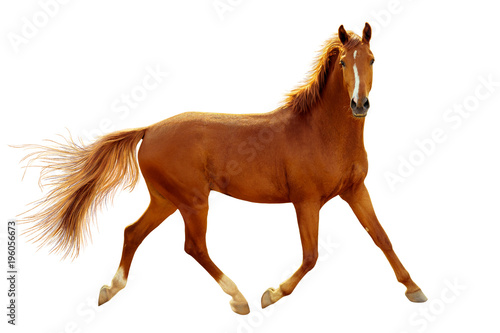La pose en embrasure Chevaux A red horse in contour light is trotting freely.