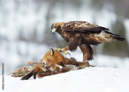 Valokuva  Golden Eagle feeding on a Red Fox in winter
