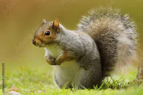 Pinturas sobre lienzo  Close up of a cute and curious grey squirrel