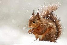 Cute Red Squirrel In The Falli...
