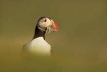 Close Up Of An Atlantic Puffin...