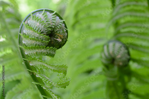 Vernal unfolding fern leaves. Young sprouts of fern of light green color.