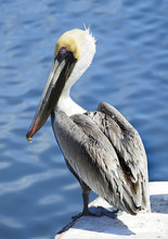 Closeup Of A Mature Brown Pelican On A Dock