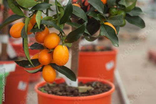 closeup of kumquat tree in orange pot in a green house
