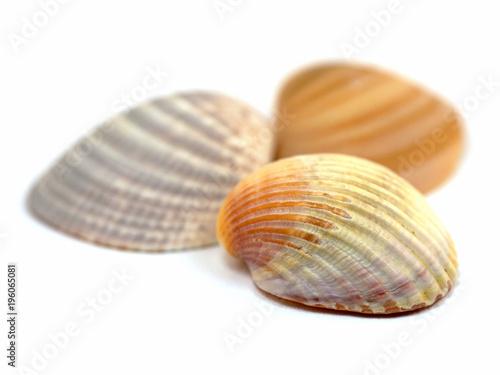Herzmuscheln, Cardiidae, Muscheln, Bivalvia