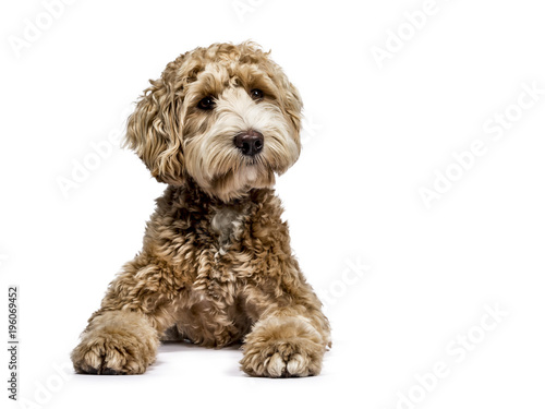 Foto op Canvas Hond Golden Labradoodle laying down with closed mouth and looking sideways isolated on white background