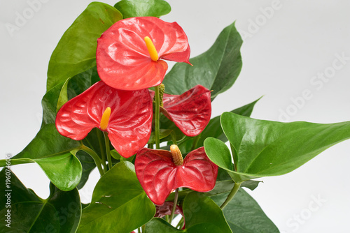 Photo Red anthurium in brown plastic pot isolated on white background