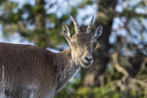 Foto  portrait of female iberian ibex in the bushes