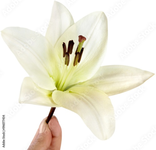 Poster  white lily flower